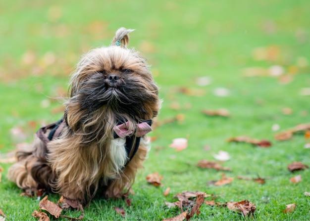 Shih-tzu dans l'herbe en automne