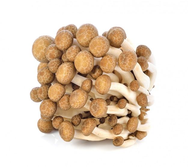 Shimeji champignons variétés marron sur blanc
