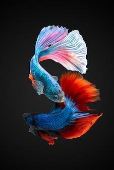 Siamese combat de poissons