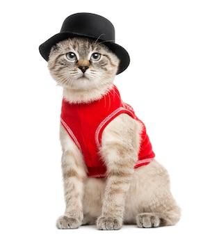 Siamois avec haut rouge et chapeau haut de forme assis regardant la caméra isolée sur blanc