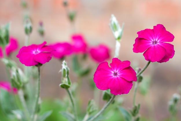 Silene coronaria (rose campion) gros plan de fleurs