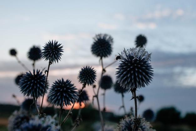 Silhouette d'une abeille qui pollinise une fleur à tête bleue épineuse au coucher du soleil