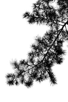 Silhouette de branche d'arbre de pin