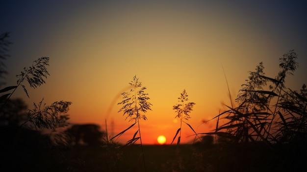 Silhouette d'herbe au coucher du soleil