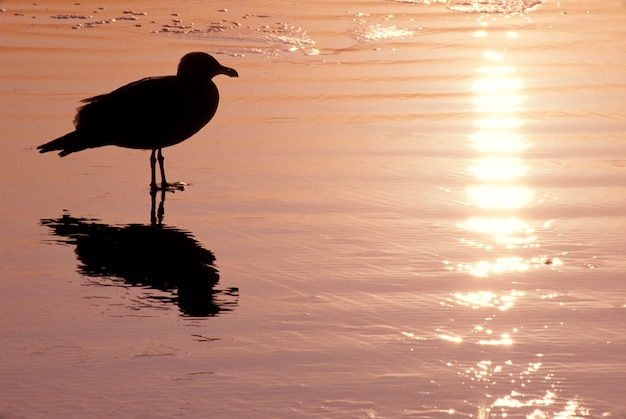 Silhouette, oiseau, debout, peu profond, eau