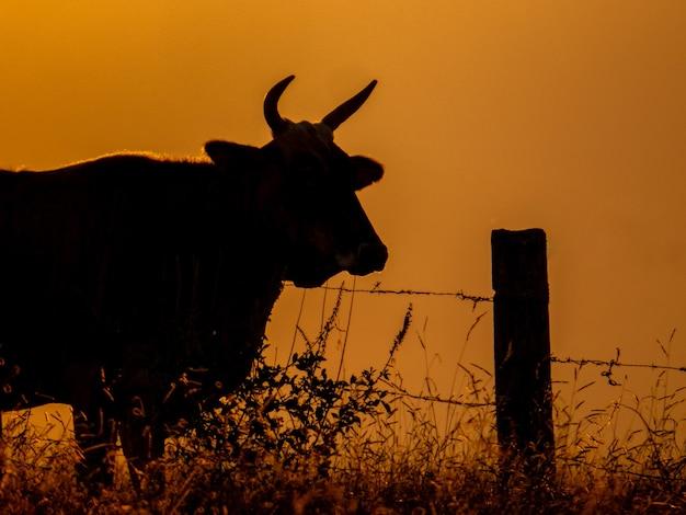 Silhouette de taureau près de la clôture au coucher du soleil