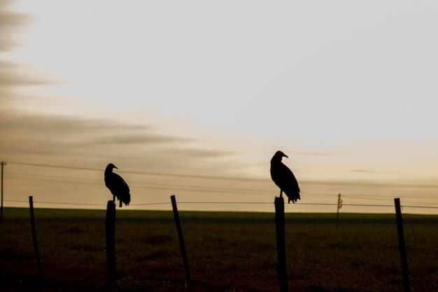 Silhouette de vautours sur le terrain au coucher du soleil.