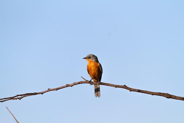 Silverbird sur l'arbre. tanzanie, serengeti