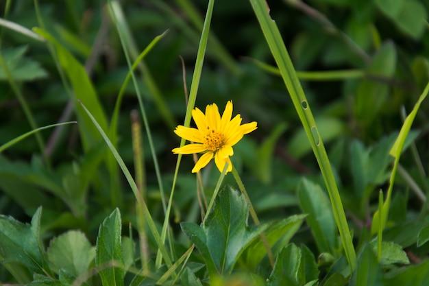 Singapour dailsy.belles fleurs jaunes