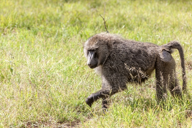 Singe babouin