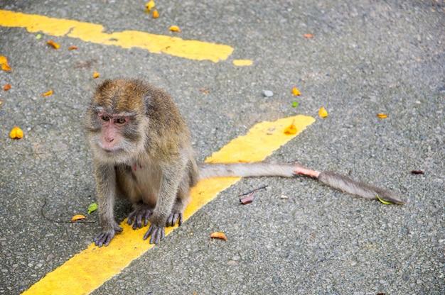 Le singe a une blessure sur la queue.