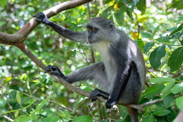Singe bleu endémique sauvage assis sur la branche dans la forêt tropicale sur l'île de zanzibar, tanzanie, afrique de l'est, gros plan