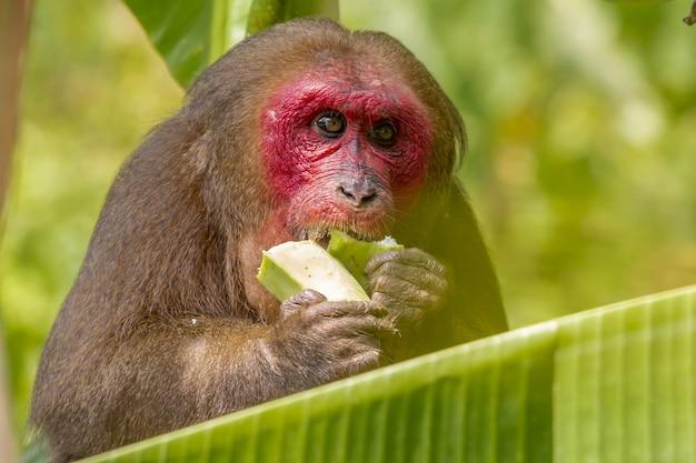Singe brun mangeant une banane verte