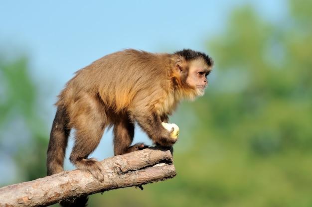 Singe capucin dans l'arbre