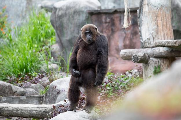 Singe chimpanzé chimpanzé