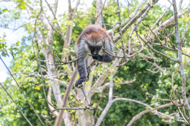 Singe colobe rouge sauvage assis sur la branche dans la forêt tropicale sur l'île de zanzibar, tanzanie, afrique de l'est