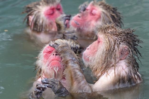 Singe dans l'eau