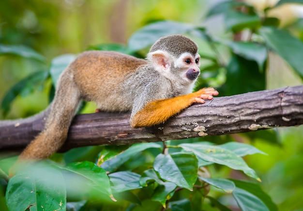 Singe écureuil dans la forêt verte