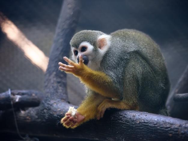 Le singe écureuil mange des fruits dans un zoo