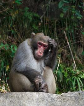 Un singe est assis sur un rocher et se gratte la tête au parc national de zhangjiajie, en chine
