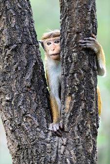 Singe à l'état sauvage sur l'île du sri lanka
