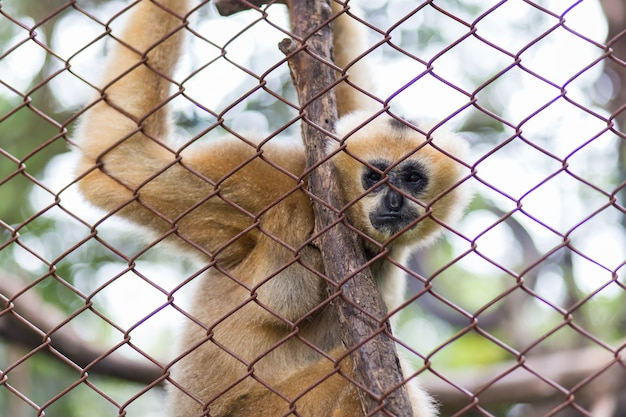 Singe, gibbon brun ou gibbon lar au zoo de dusit, thaïlande.