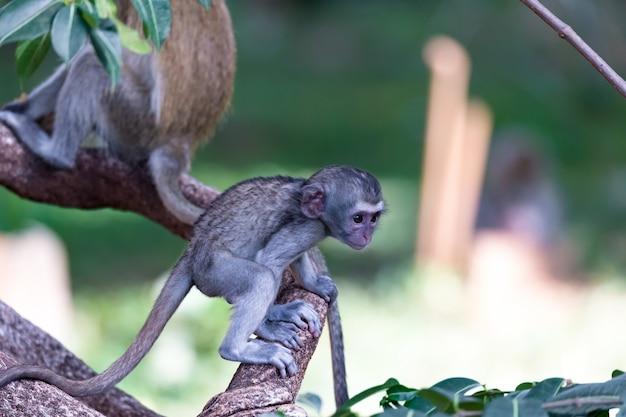 Un singe grimpe sur une branche