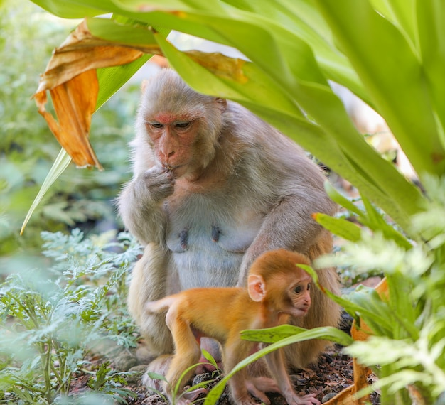 Singe indien ou singe macaque rhésus