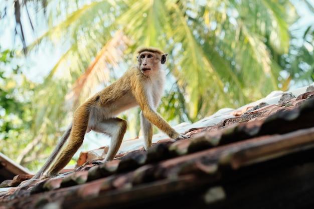 Singe macaca sinica mignon sur le toit de la cabane