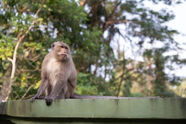 Singe macaque assis sur une clôture verte sous les tropiques