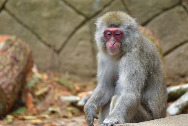 Singe macaque japonais