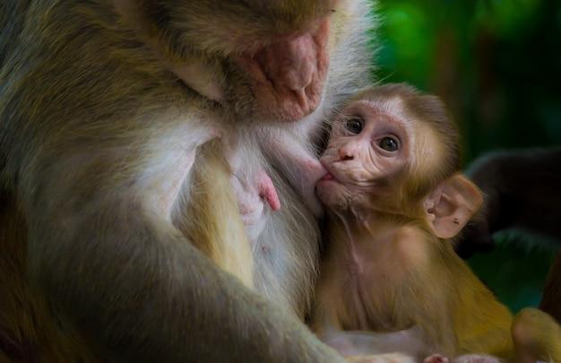 Le singe macaque rhésus