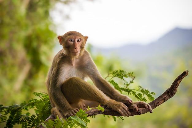 Singe mâle assis sur une branche de tamarin et montagne.