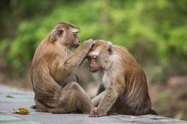 Un singe mâle vérifiant les puces et les tiques chez la femelle