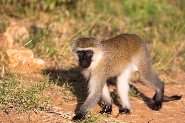 Un singe marche entre l'herbe sur le sol