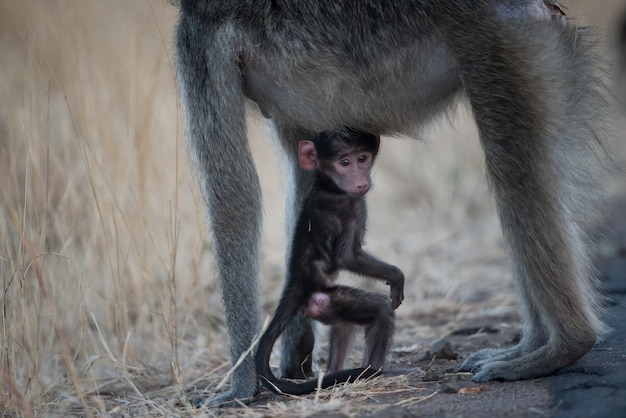 Singe mignon bébé jouant avec sa mère dans un champ