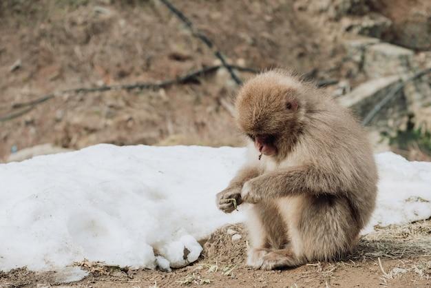 Singe des neiges assis en mangeant des congés secs.