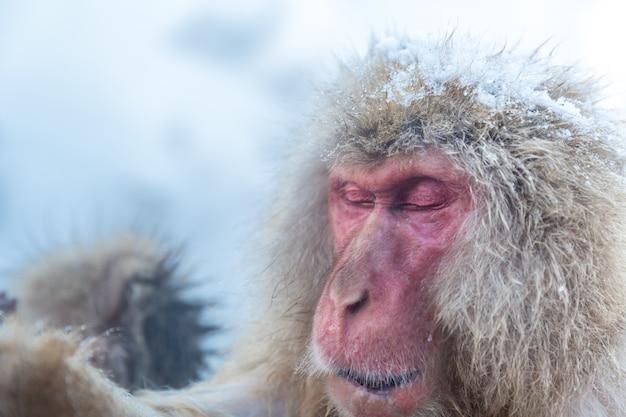 Singe des neiges macaque onsen