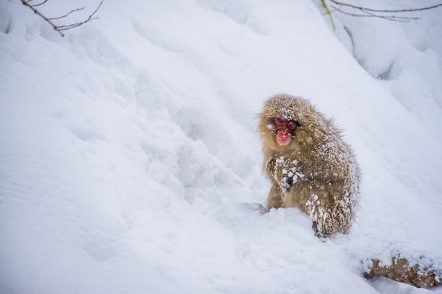 Singe des neiges (macaques japonais) assis dans la neige alors que la neige tombe en hiver