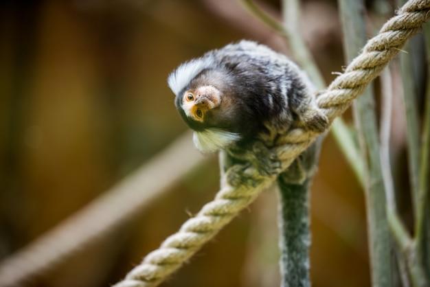 Singe ouistiti commun sur une branche au zoo