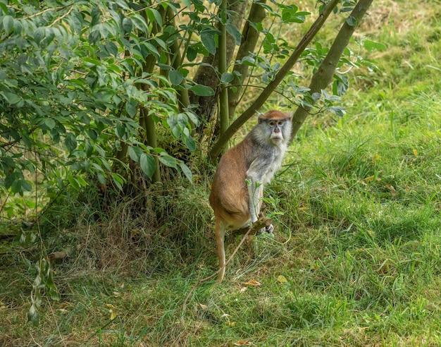 Singe patas dans un arbre