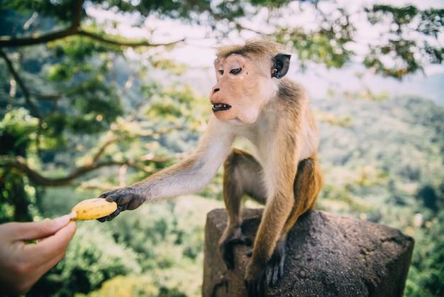 Un singe prend une banane à un homme