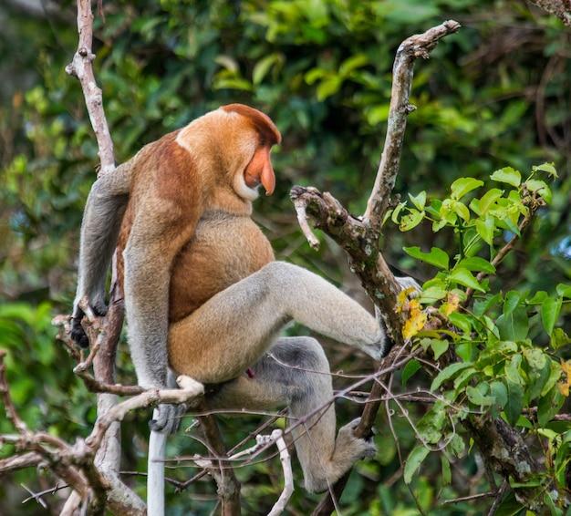 Le singe proboscis est assis sur un arbre dans la jungle. indonésie. l'île de bornéo. kalimantan.