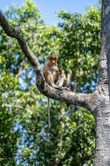 Singe proboscis sauvage ou nasalis larvatus, dans la forêt tropicale de l'île de bornéo, en malaisie, en gros plan. le singe est assis sur un arbre