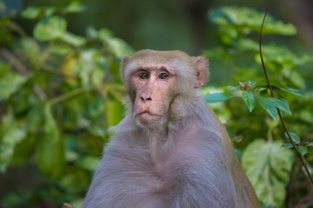 Singe rhésus macaque