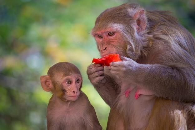 Le singe rhésus mangeant des fruits