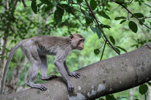 Le singe s'arrête sur un grand arbre dans la nature en thaïlande