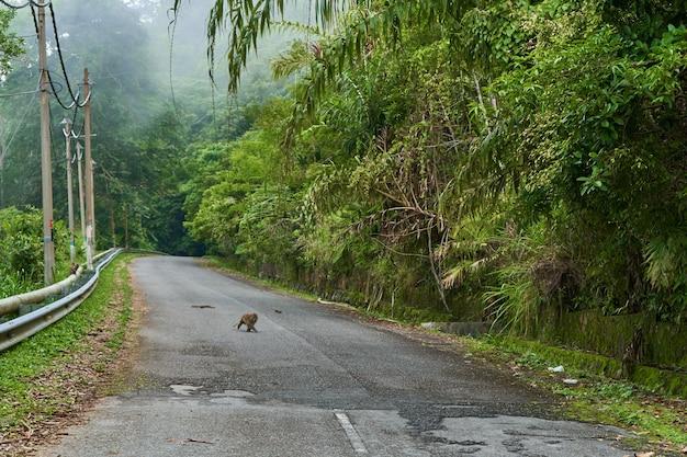 Singe sauvage sur l'autoroute à travers la jungle dense. animaux sauvages dans la jungle.
