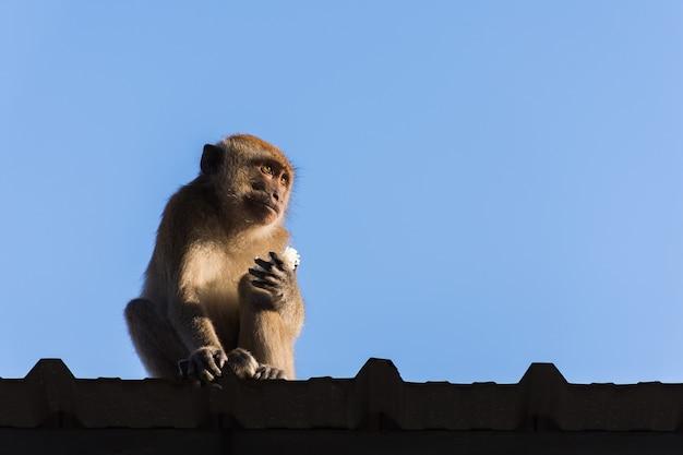 Singe sur le toit