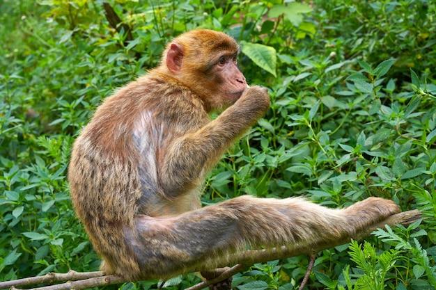 Singes de barbarie macaca sylvanus macaque
